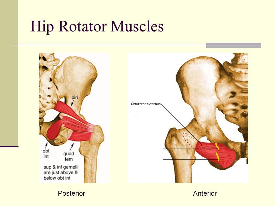 Hip Rotator Muscles Posterior Anterior
