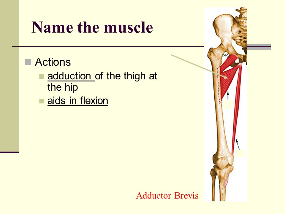 Name the muscle Actions adduction of the thigh at the hip