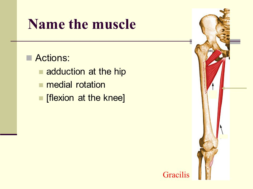 Name the muscle Actions: adduction at the hip medial rotation