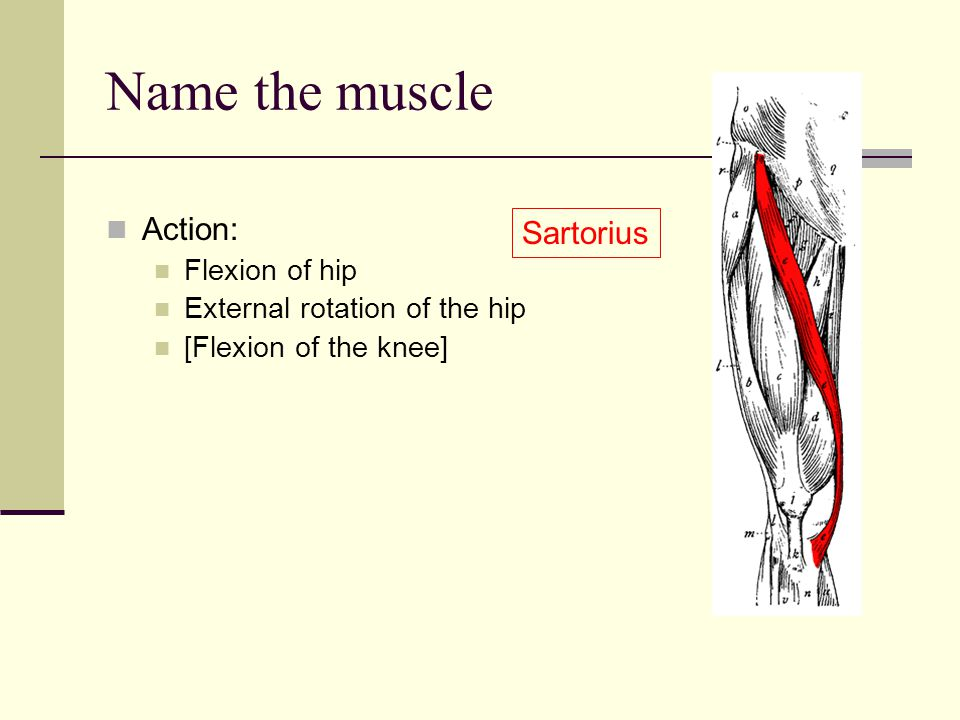 Name the muscle Action: Sartorius Flexion of hip