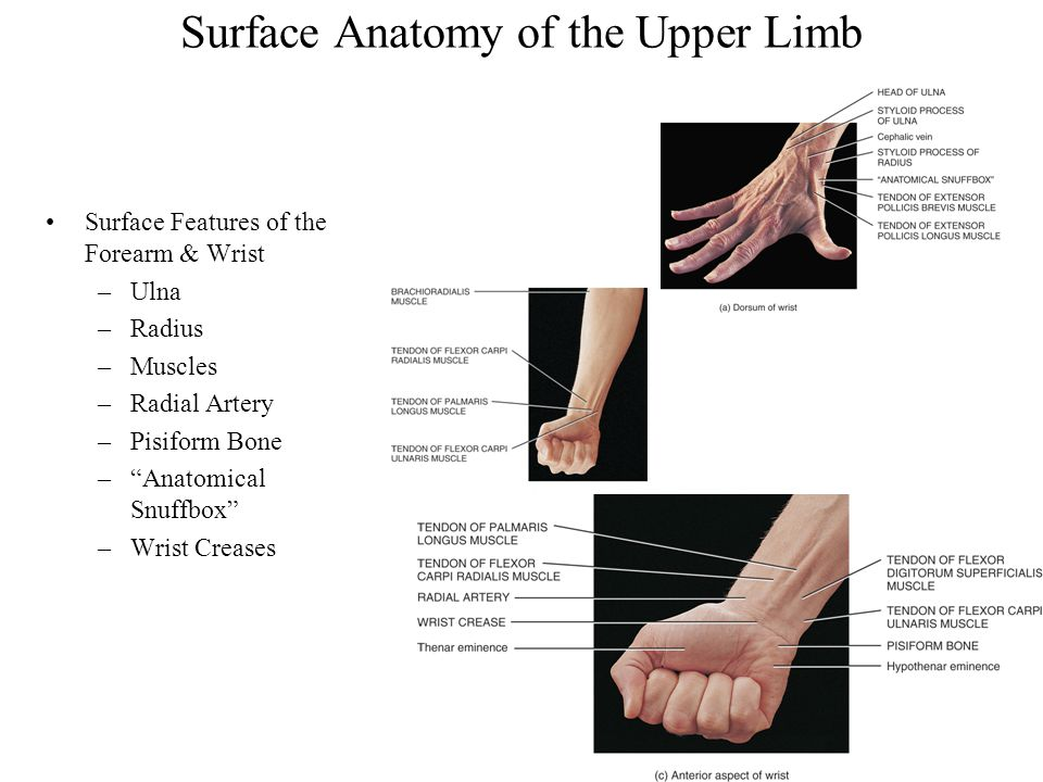 Chapter 12 Surface Anatomy Ppt Video Online Download