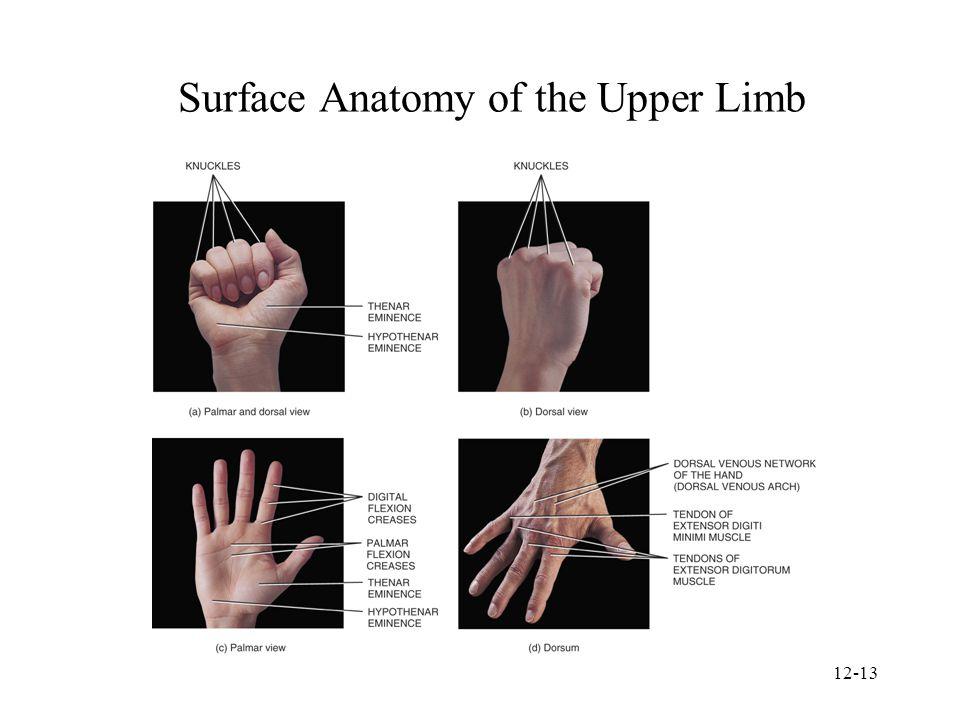 Fantastic Surface Anatomy Of Wrist Photo - Anatomy And Physiology ...