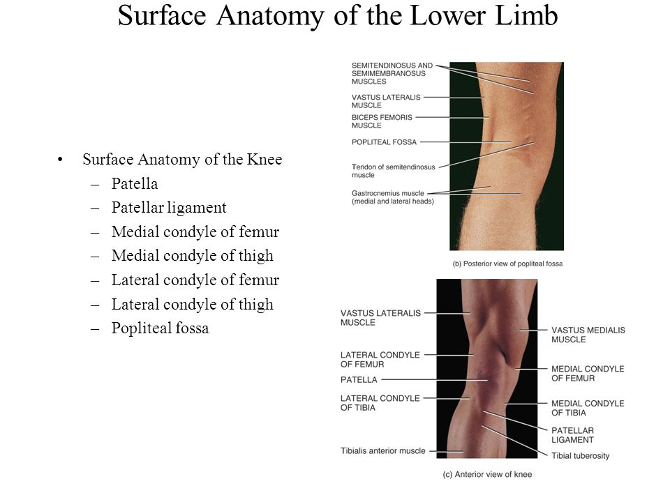 Modern Surface Anatomy Of The Lower Limb Image Collection - Image of ...