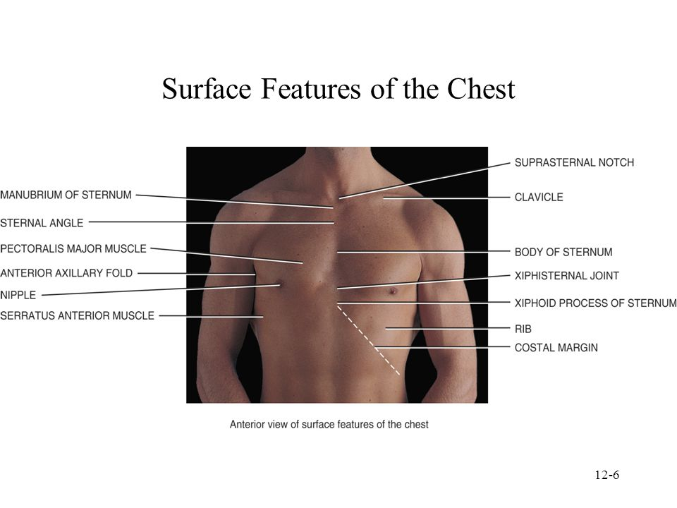 Amazing Surface Anatomy Of The Chest Mold Anatomy And Physiology
