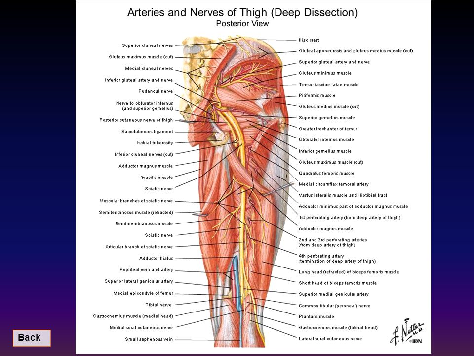 Image result for nerve muscles of back thigh leg