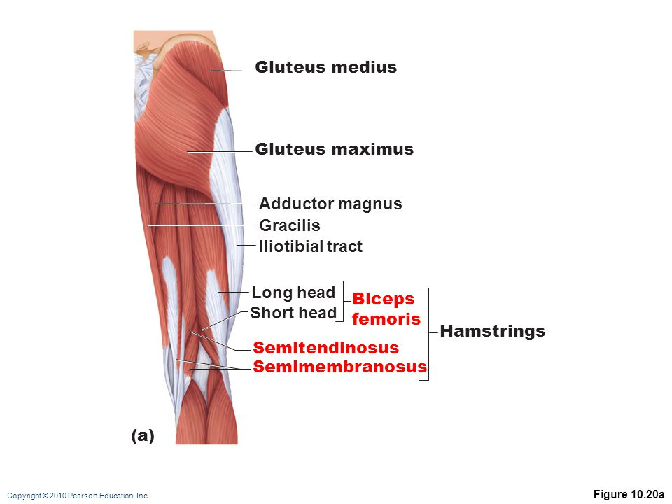 Magnificent Gracilis Ideas - Anatomy And Physiology Biology Images ...