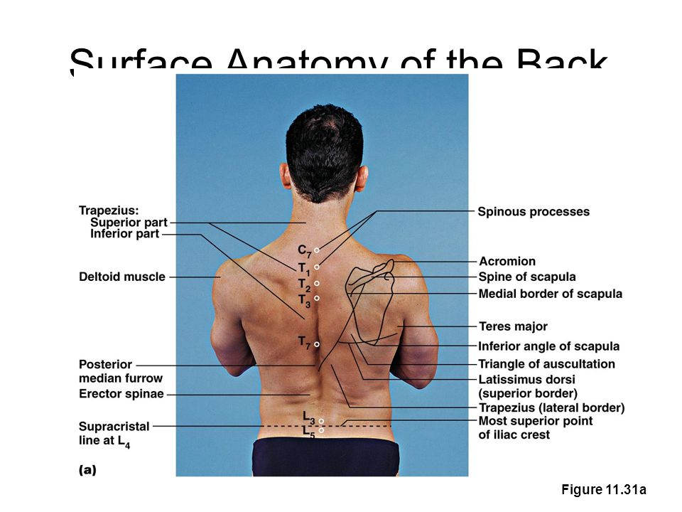Surface Anatomy Palpation – feeling internal structures through the ...