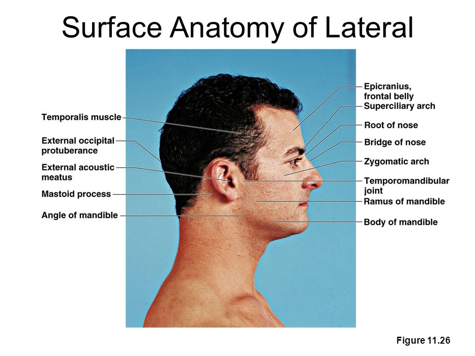 Surface Anatomy Palpation Feeling Internal Structures Through The