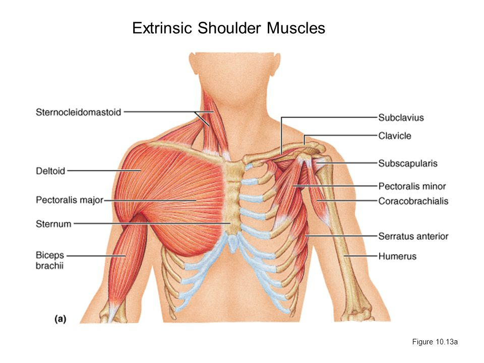 Extrinsic Shoulder Muscles - ppt video online download