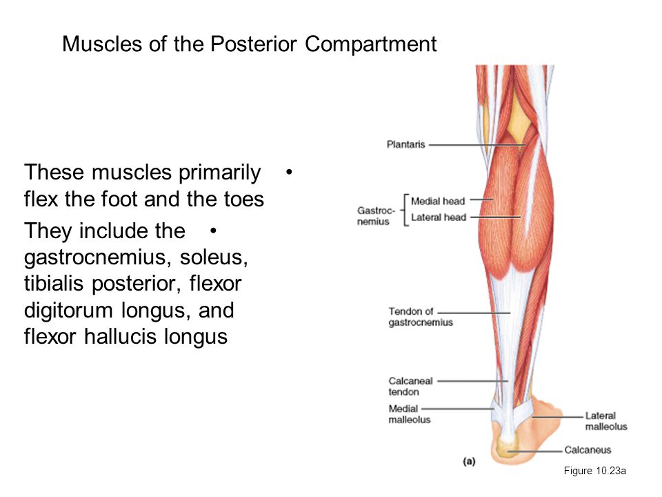 Muscles of the Posterior Compartment