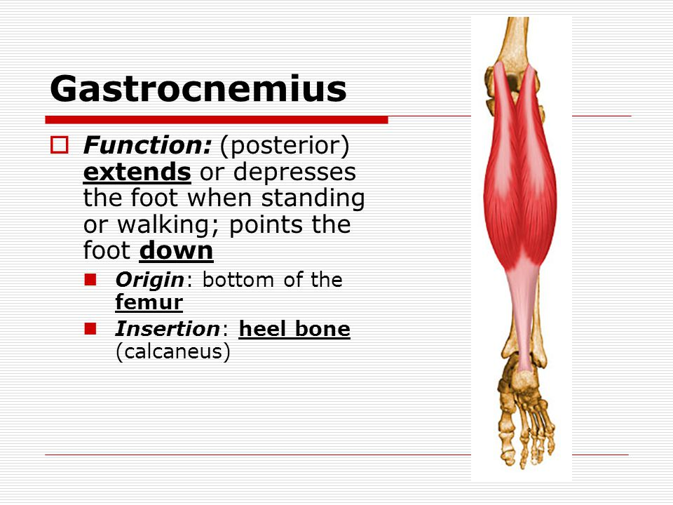 Gastrocnemius Function: (posterior) extends or depresses the foot when standing or walking; points the foot down.