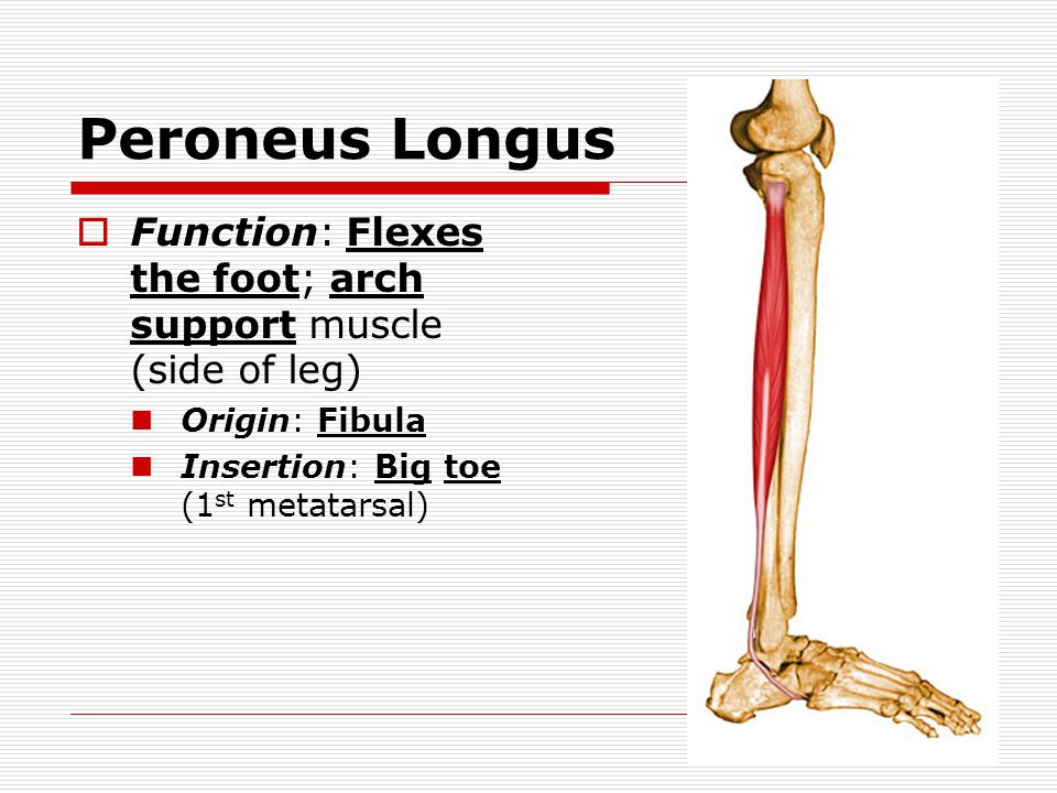 Peroneus Longus Function: Flexes the foot; arch support muscle (side of leg) Origin: Fibula.