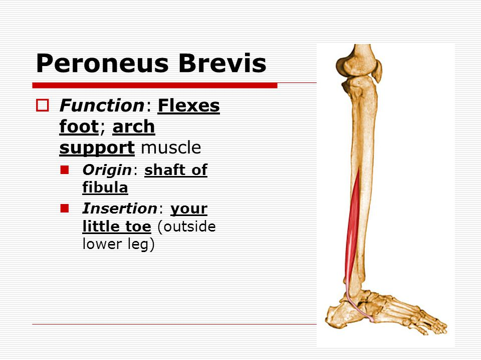 Peroneus Brevis Function: Flexes foot; arch support muscle