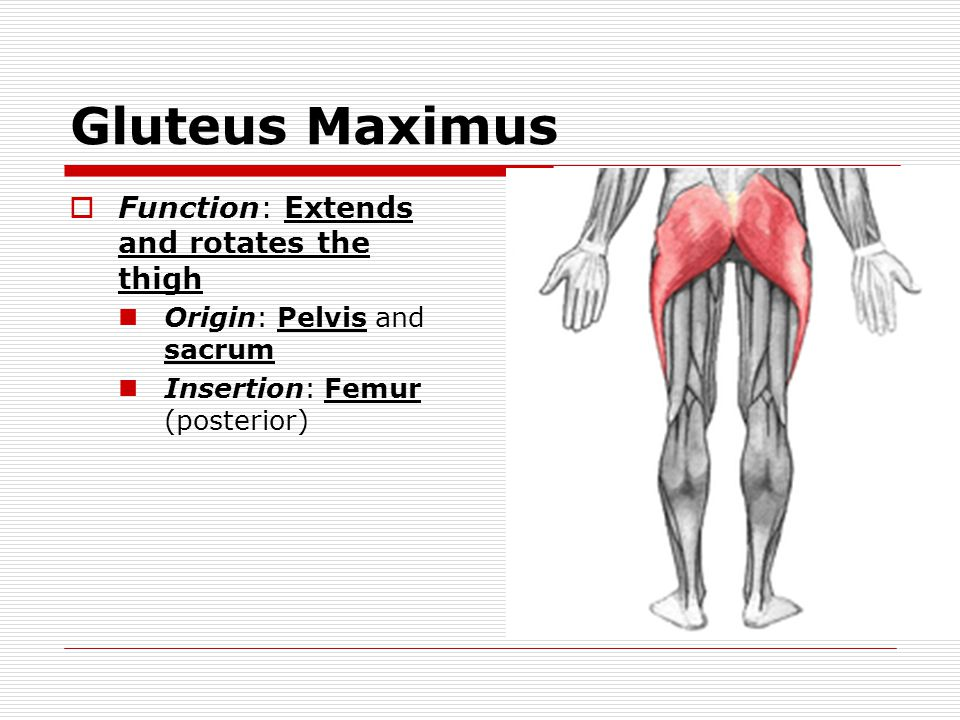 Gluteus Maximus Function: Extends and rotates the thigh