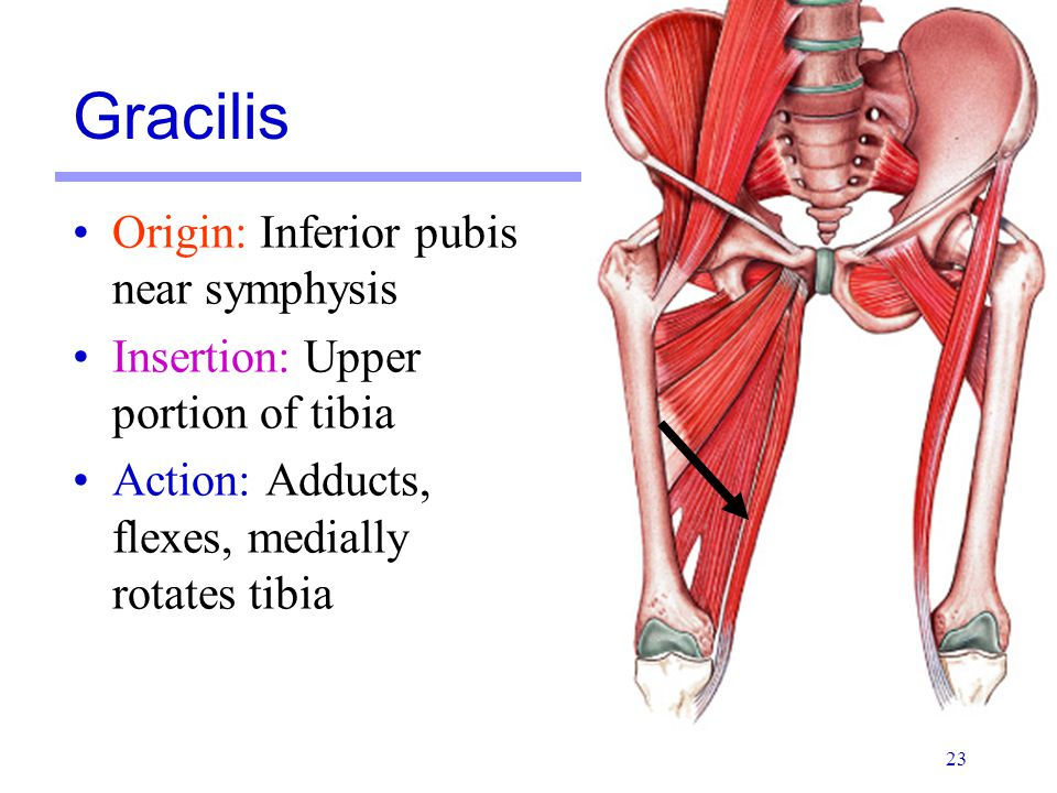 Gracilis Origin: Inferior pubis near symphysis
