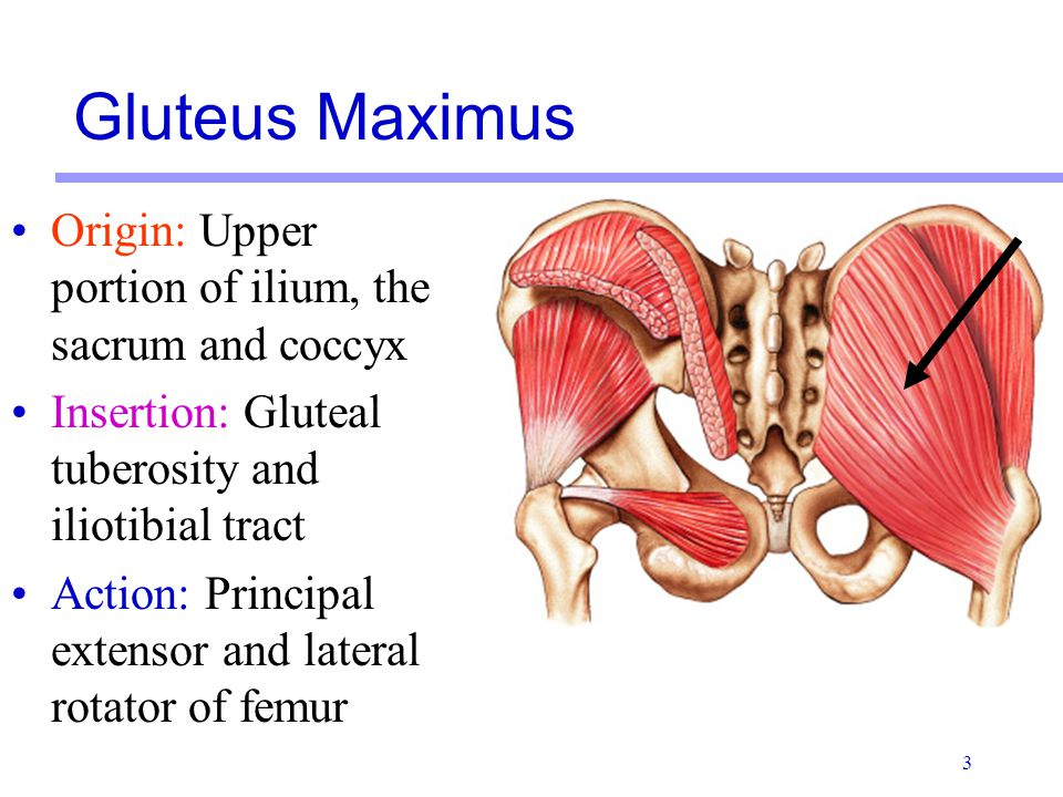 Gluteus Maximus Origin: Upper portion of ilium, the sacrum and coccyx