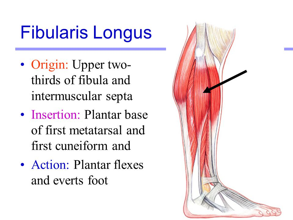 Fibularis Longus Origin: Upper two-thirds of fibula and intermuscular septa. Insertion: Plantar base of first metatarsal and first cuneiform and.