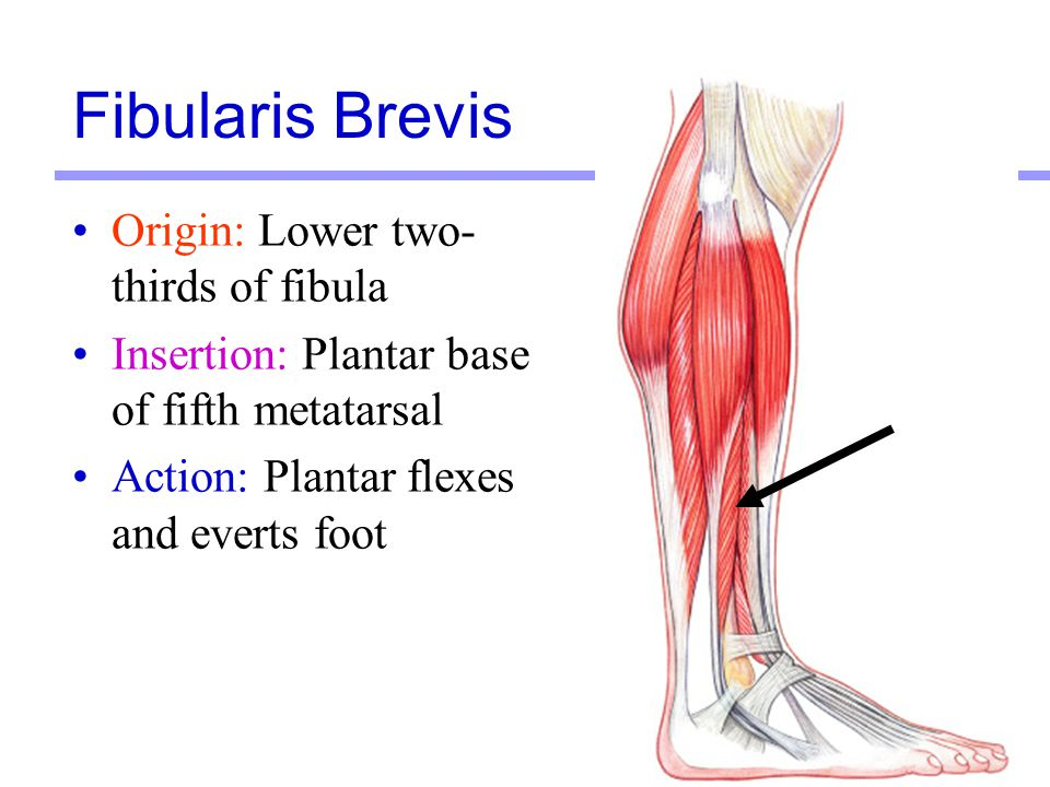Fibularis Brevis Origin: Lower two-thirds of fibula