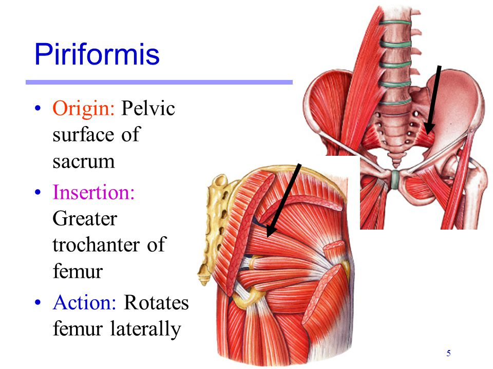 Piriformis Origin: Pelvic surface of sacrum