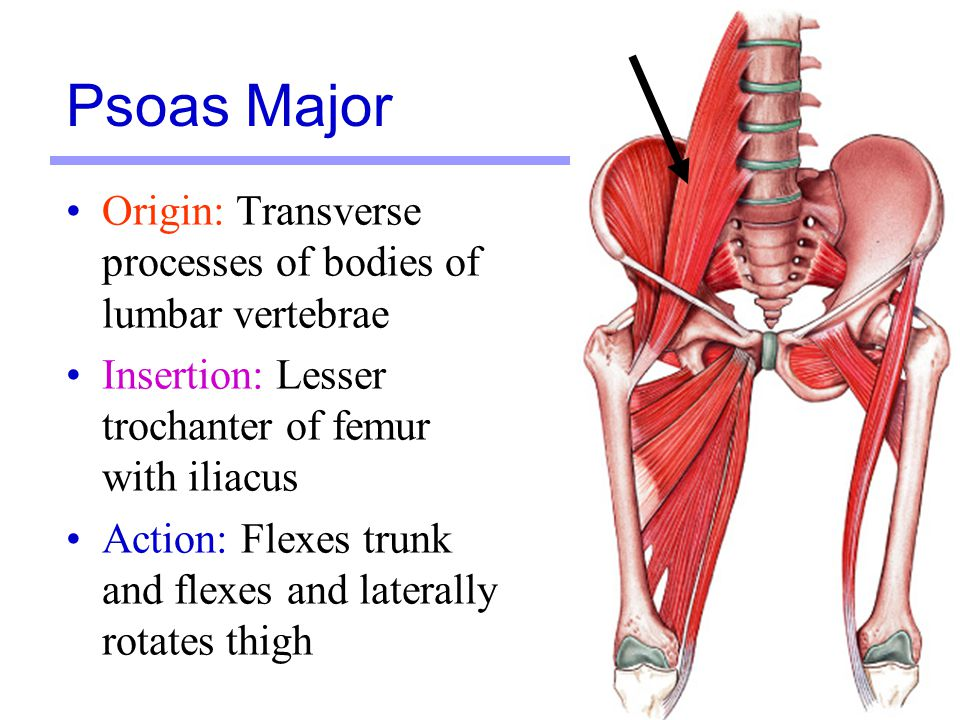 Psoas Major Origin: Transverse processes of bodies of lumbar vertebrae