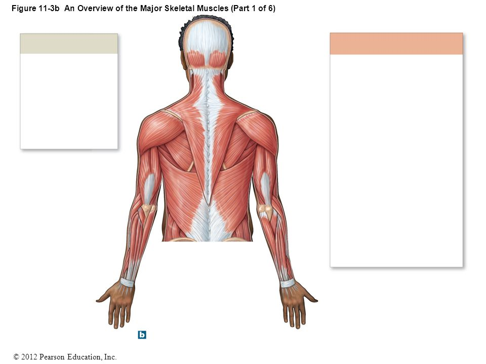 Figure 11-3b An Overview of the Major Skeletal Muscles (Part 1 of 6)