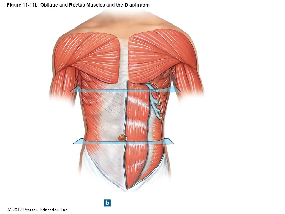 Figure 11-11b Oblique and Rectus Muscles and the Diaphragm