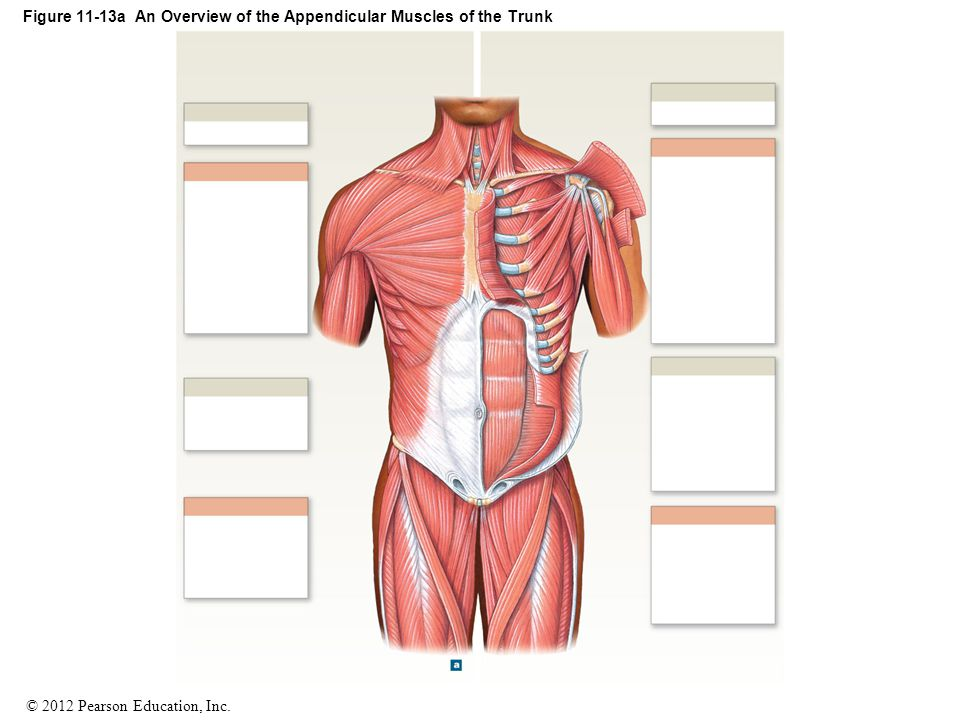 Figure 11-13a An Overview of the Appendicular Muscles of the Trunk