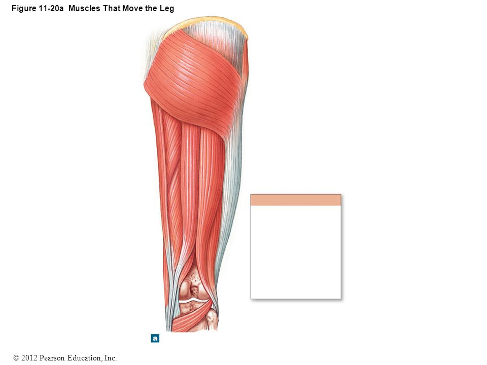 Figure 11-20a Muscles That Move the Leg