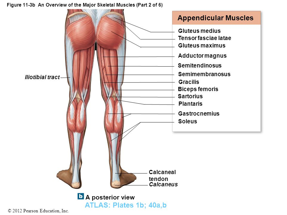 Figure 11-3b An Overview of the Major Skeletal Muscles (Part 2 of 6)