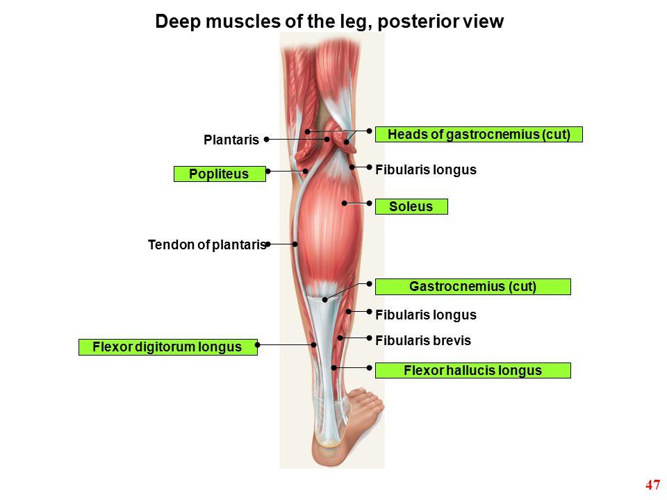 Ex. 12: Skeletal Muscle. - ppt video online download