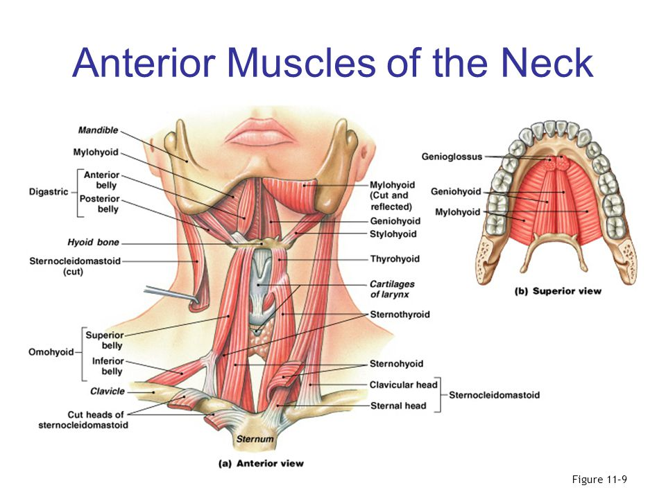 Anterior Muscles of the Neck