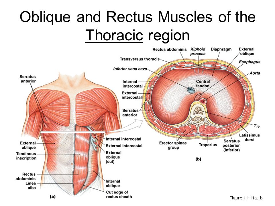 Oblique and Rectus Muscles of the Thoracic region