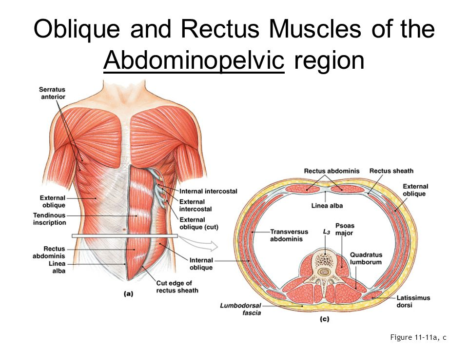 Oblique and Rectus Muscles of the Abdominopelvic region