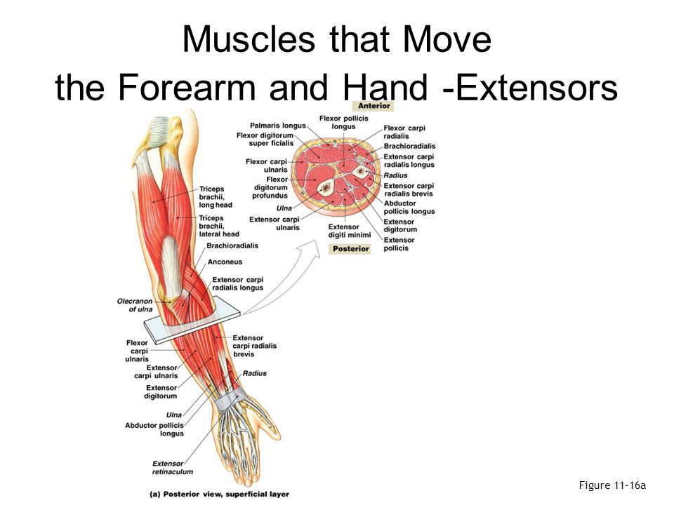 Muscles that Move the Forearm and Hand -Extensors
