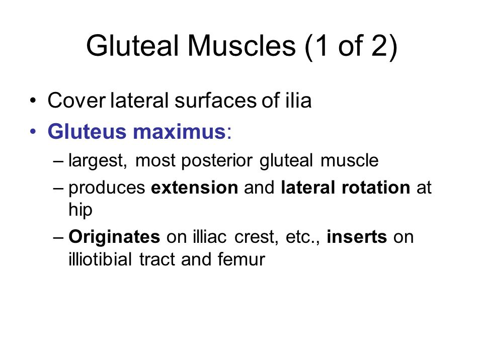 Gluteal Muscles (1 of 2) Cover lateral surfaces of ilia