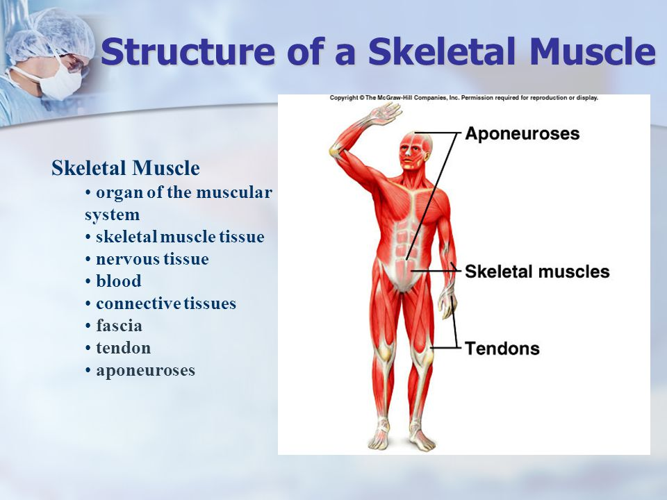 Structure Of Muscular System Essentials Of Photo Gallery In Website