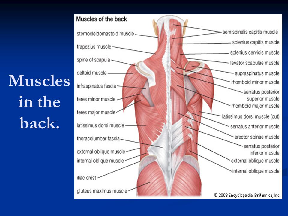 Muscular System 600 Muscles Ppt Video Online Download