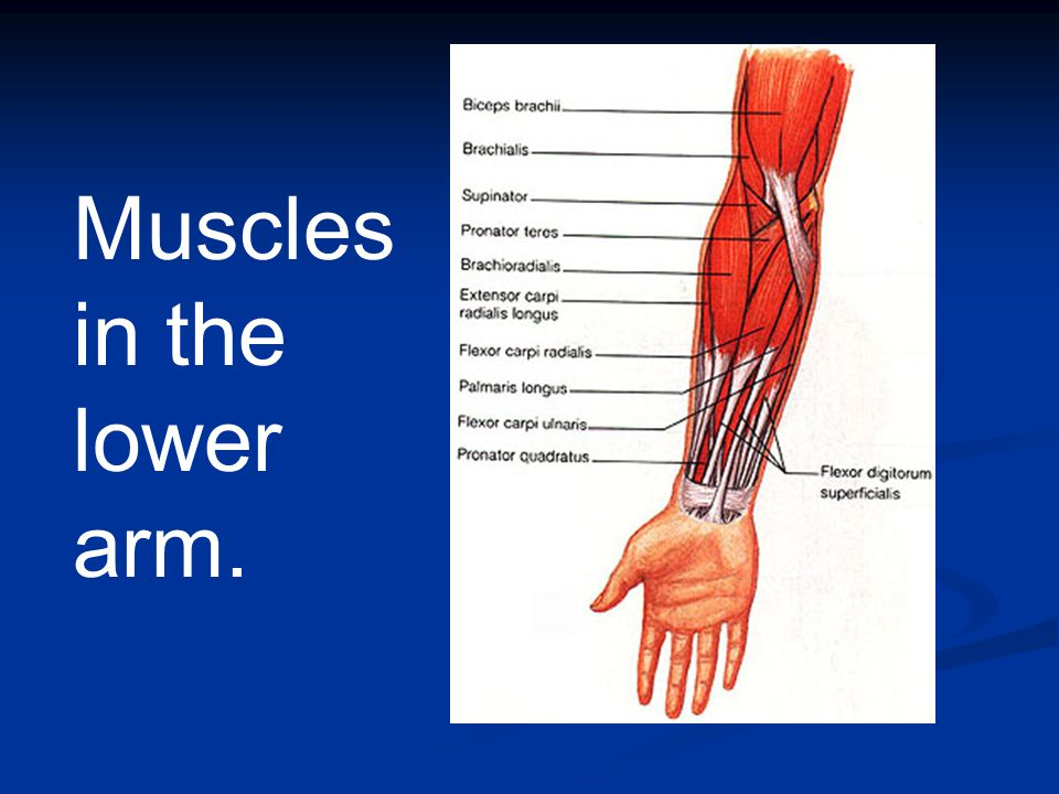 Muscular System 600 Muscles - ppt video online download