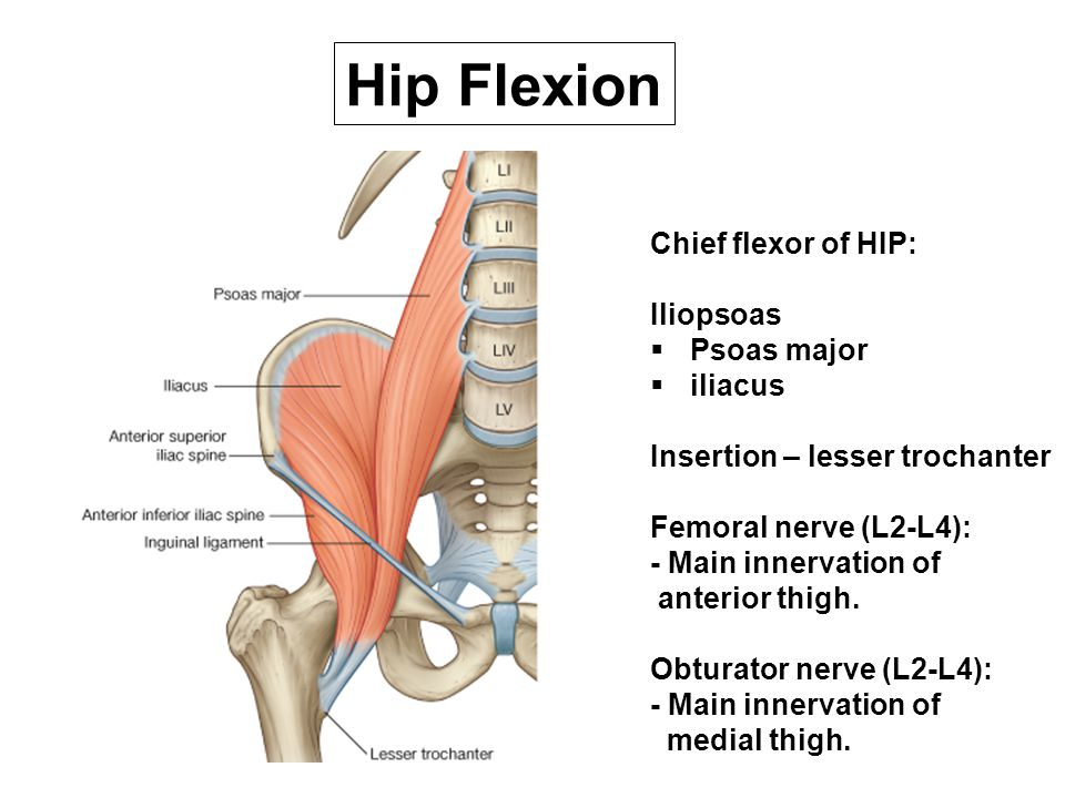 Hip Flexion Chief flexor of HIP: Iliopsoas Psoas major iliacus