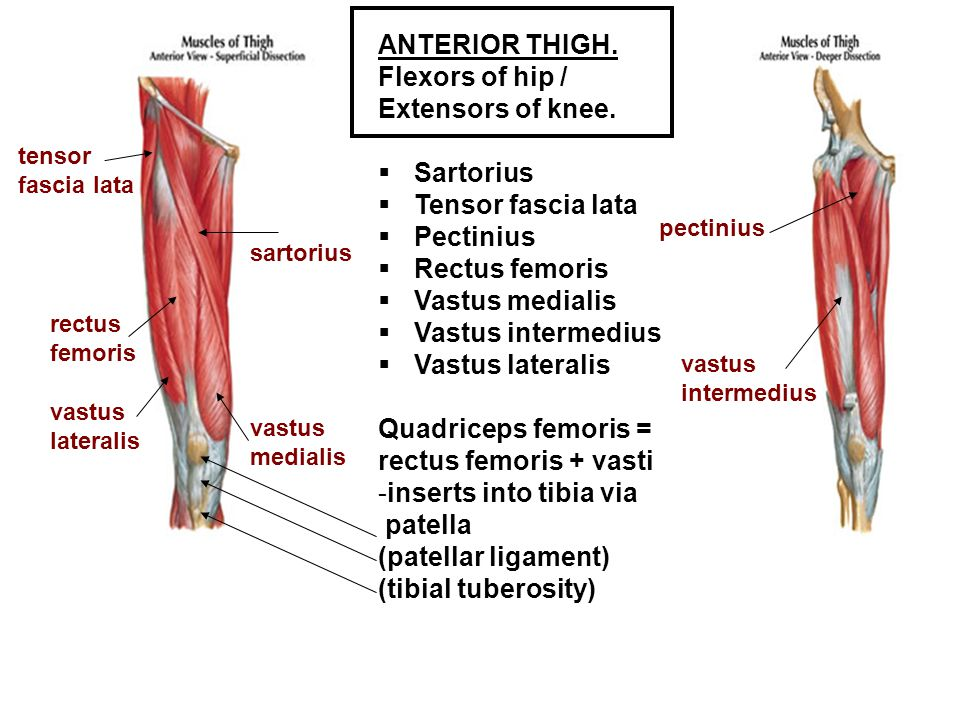 Flexors of hip / Extensors of knee.