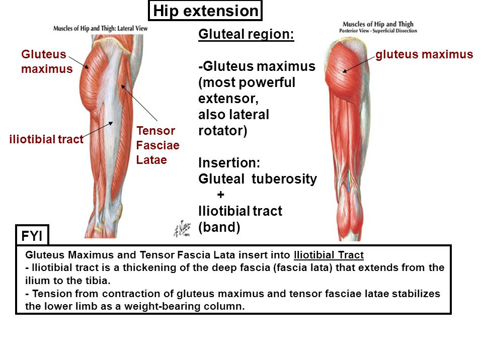 Hip extension Gluteal region: -Gluteus maximus