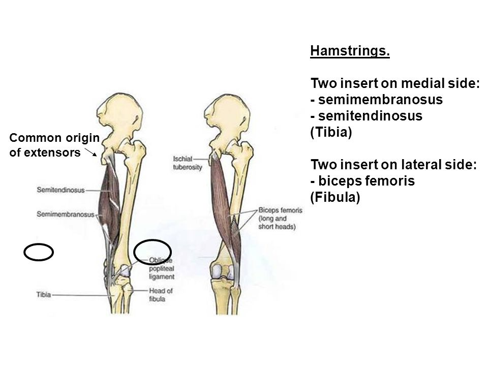 Two insert on medial side: - semimembranosus - semitendinosus (Tibia)