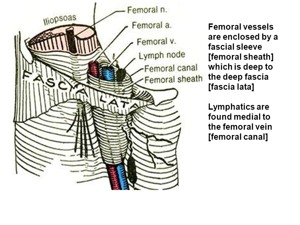 Femoral vessels are enclosed by a. fascial sleeve. [femoral sheath] which is deep to. the deep fascia.