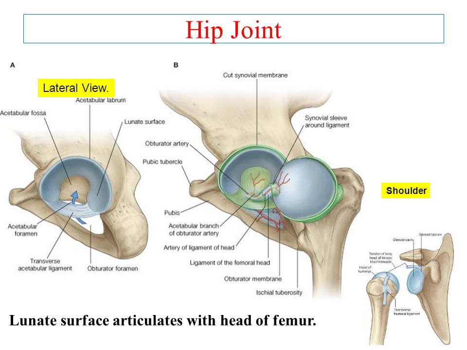 Hip Joint Lunate surface articulates with head of femur. Lateral View.