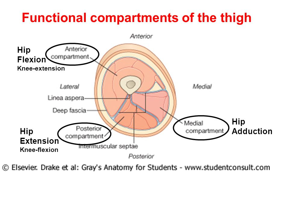 Functional compartments of the thigh