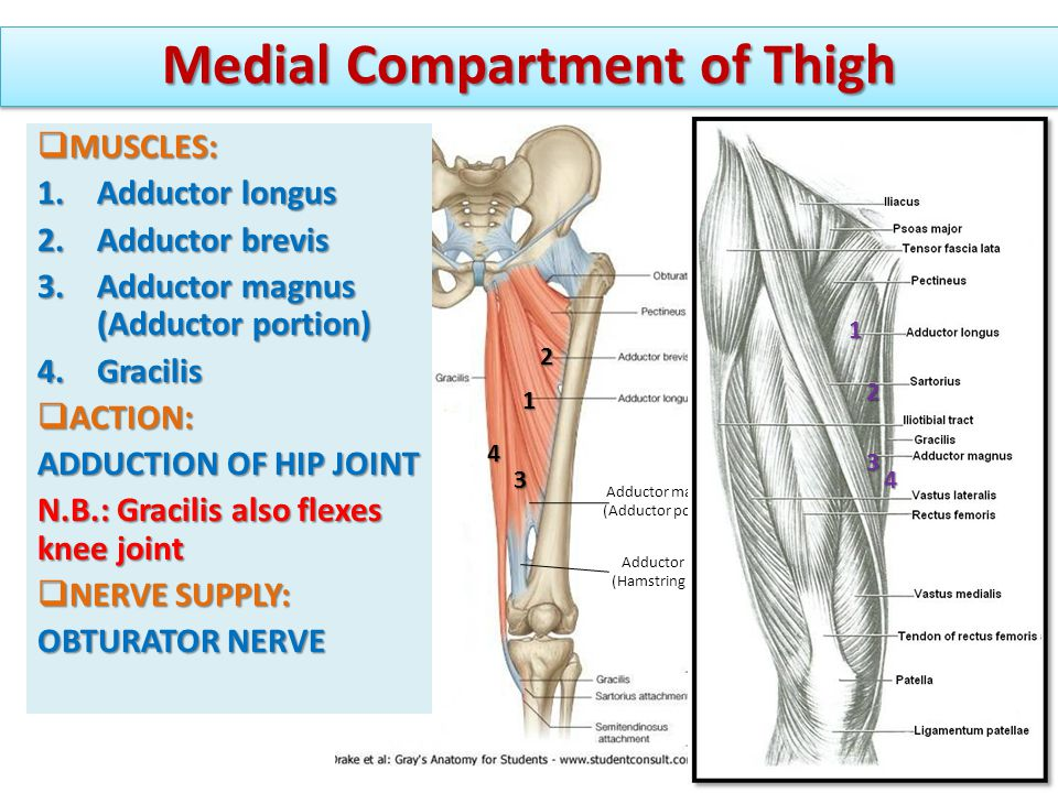 Muscles of the thigh. - ppt video online download