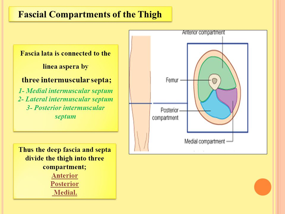 Fascial Compartments of the Thigh