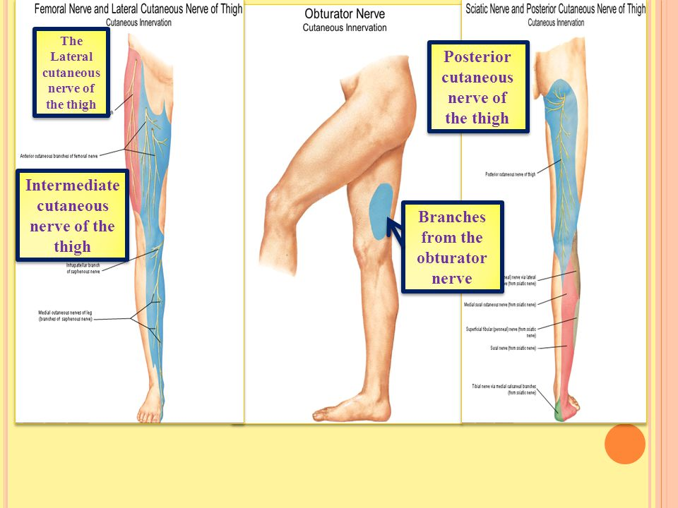 Posterior cutaneous nerve of the thigh