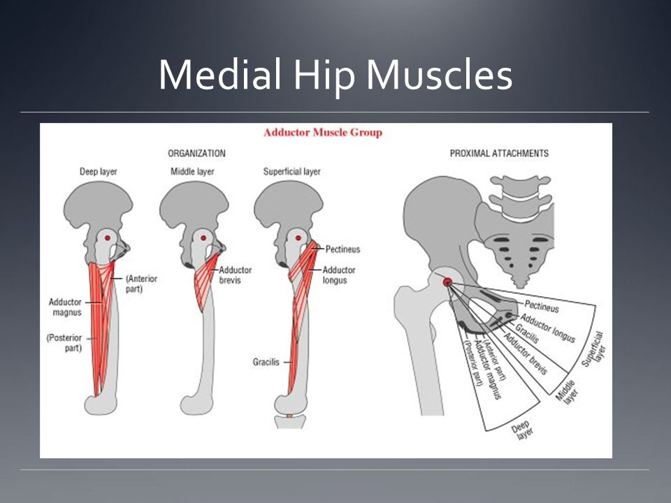 Medial Hip Muscles