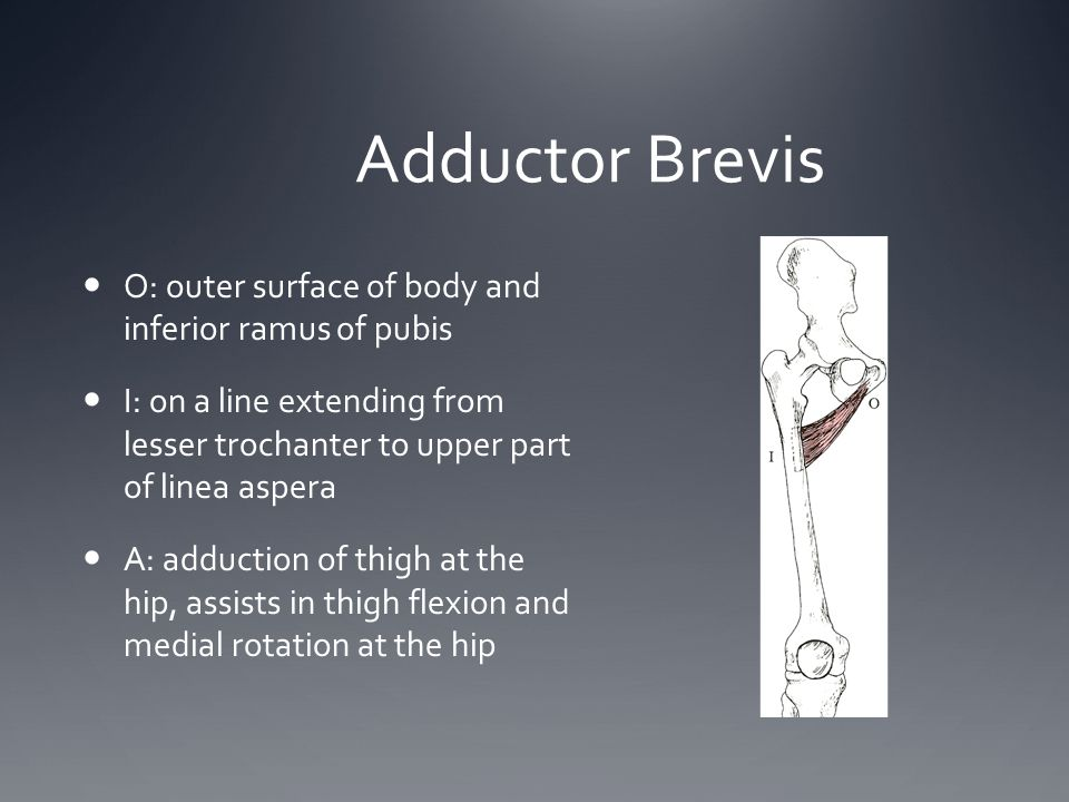 Adductor Brevis O: outer surface of body and inferior ramus of pubis